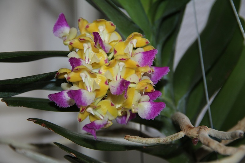 Aerides houlletiana IMG 6033