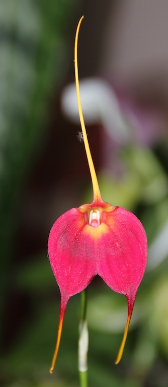 Masdevallia Red Wing 07.10.2011 042
